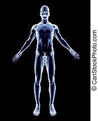 X-Ray - Male Anatomy