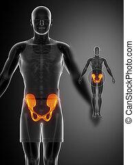 x--ray, pelve, pretas, varredura osso