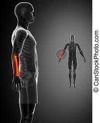 x--ray, raio, pretas, varredura osso