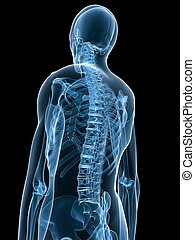 x-ray skeletal back - 3d rendered x-ray illustration of a ...