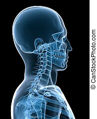 x-ray skeletal neck - 3d rendered x-ray illustration of a...
