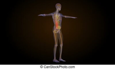 X-ray skeleton animation of lower back spine pain. Human...
