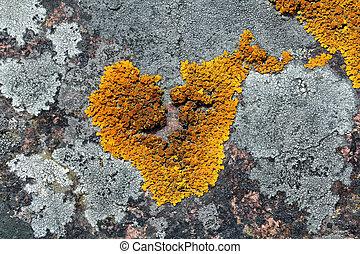 xanthoria, parete, (common, lichen), lichene, arancia, granito, parietina
