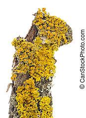 Xanthoria Parietina (Golden Shield Lichen) Close-Up on Tree Bark