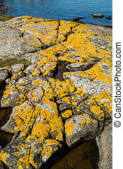 Xanthoria parietina or golden shield lichen