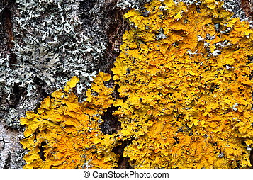 Xanthoria parietina. Orange lichen on a tree trunk