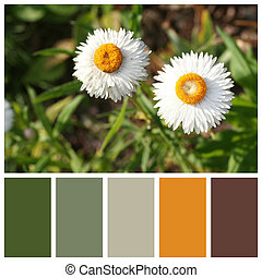 Xerochrysum bracteatum, commonly known as the golden everlasting or strawflower, with complimentary colour swatches