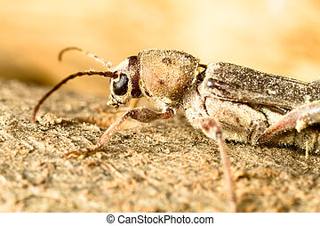 xilophagus insect