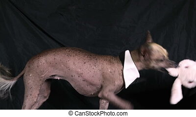 Xoloitzcuintle dog with a bow tie on the neck pulls the ear ...