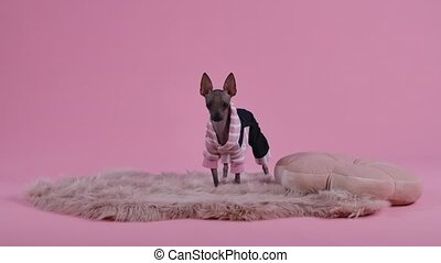 Xoloitzcuintle stands full length on a creamcolored fur blanket next to the animal's pillow. Pet in pink and black overalls in the studio on a pink background. Slow motion. Close up