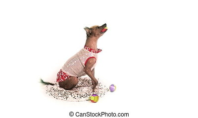 Xoloitzcuintli dog catches balls with his mouth then stands ...