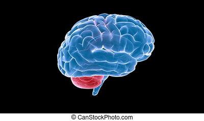xray, cerveau