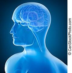 xray, cerveau, tête, humain