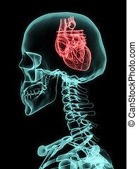 Xray of skull with heart.