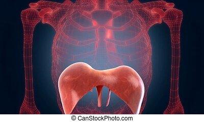 xray scan internal orans - diaphragm