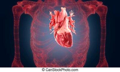 xray scan internal orans - heart
