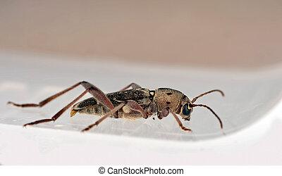 Strangely beautiful long horned beetle