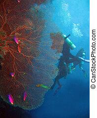 y, coral, balicasag, ventilador, gorgonian, clavadistas,...