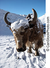 Yak after a snowfall at Gokyo village outskirts, Everest region, Himalayas, Nepal.