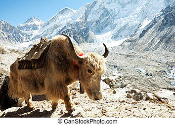 Yak in mountains - yak in Himalaya