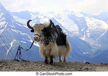 Yak in the mountains of Dombai