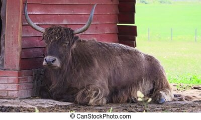 Yak lying in the shadow