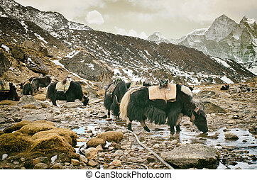 Yak on the trail near Everest Base Camp in Nepal