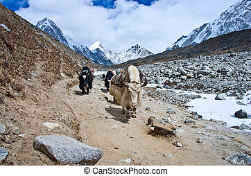 Yak on the trail near Everest Base Camp, Nepal