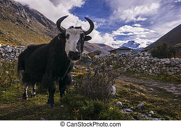 yak on the way to Everest base camp. Local aminal in Nepal. ...