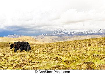 yak, prima, monte, yala, in, altopiani, di, sichuan, in, porcellana