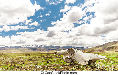 Yak Skull in Tagong grassland - Sichuan