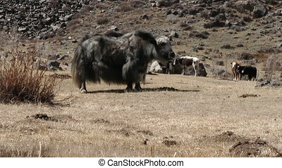 Yaks Graze On The Mountain Pasture
