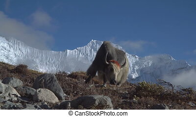 Yaks in the Himalayas.