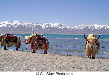 Yaks in Tibet - Yaks in front of snow covered mountains and...