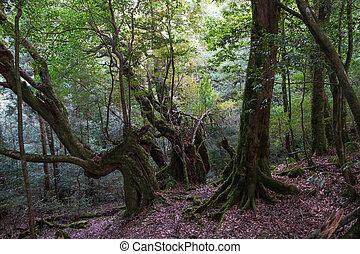 yakushima, sitio, japón, herencia, mundo, unsuikyo, natural, shiratani