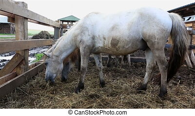 Yakutian horse in paddock