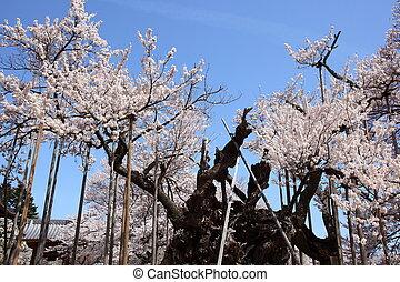 Yamataka Jindai Sakura is 2000-year-old cherry tree, ...