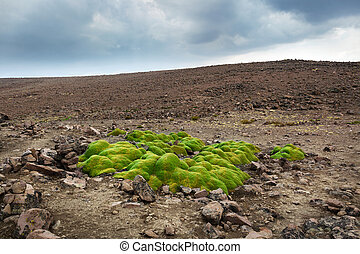 Yareta colony in a mountain pass