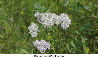Yarrow flower healing herb on a green background.