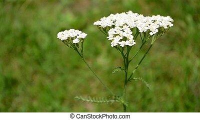Yarrow Flower - Yarrow flower close up. Yarrow is cultivated...