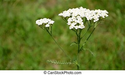Yarrow Flower - Yarrow flower close up. Yarrow is cultivated...