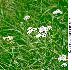 Yarrow flowers on a background of the summer landscape.