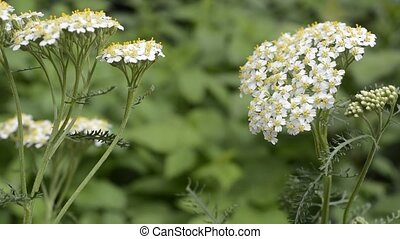Yarrow in both ends - White yarrow flowers in both ends and...