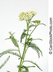 White yarrow flowers on pale gray background in vertical composition