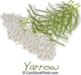 yarrow., médico, herb., vector.