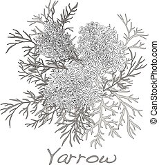 Yarrow. Medical Herb. Vector. - Yarrow. Medical Herb. Vector...