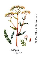Yarrow set illustration. Hand drawn herb - Yarrow drawing in...