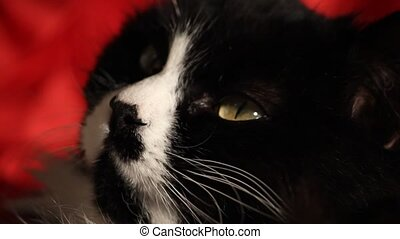 Yawning cat 2 - A black and white cat is resting while...