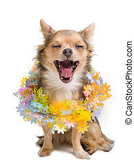 Yawning chihuahua puppy with garland