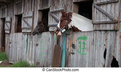Yawning Horse in stable - Yawning Horse. Two horses in...